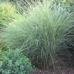 Miscanthus 39 morning light 39 japanese grass tall 6 39 vase for Tall thin ornamental grasses