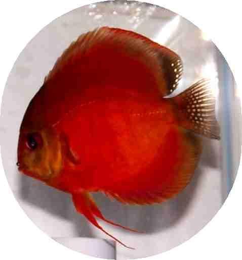 Siam red master discus 3 inch pet pics pinterest for Discus fish price