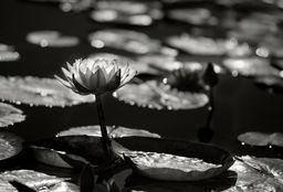 Mission Lotus