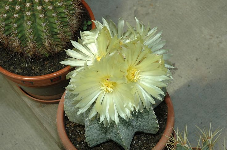 Astrophytum miriostigma virág
