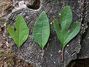 Sassafras (Sassafras albidum) Found out today that we have sassafras trees growing around us.