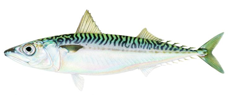 "Tomelleri tries to mimic the iridescence of fishes' scales, as in this drawing of a Pacific chub mackerel (""Scomber japonicas""). ""Even the fish that are silvery actually have a lot of color in them,"" he says. Image courtesy of Joseph Tomelleri  These Fish Posed for Pencils, Not Cameras - Science Friday"
