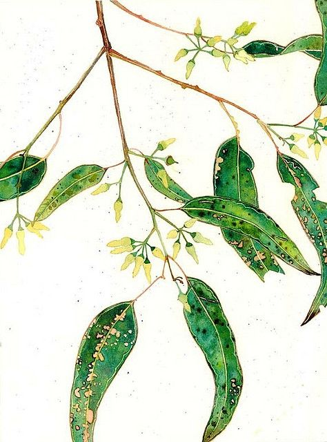 eucalyptus buds. gum leaves and blossoms watercolour on paper. Mango Frooty