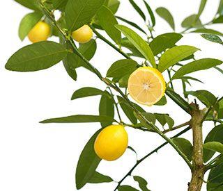 sitruunapuu hoito. Sitruunapuu on näyttävä hedelmäpuu. Katso hoito-ohjeet ja kasvatusvinkit.