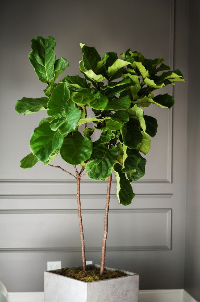 Fiddle Fig | A Touch of Greenery is a Must in Every Room ~ JLD