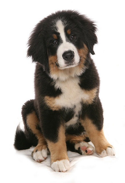 burnese mountain dog puppy by Petographer.co.uk, via Flickr