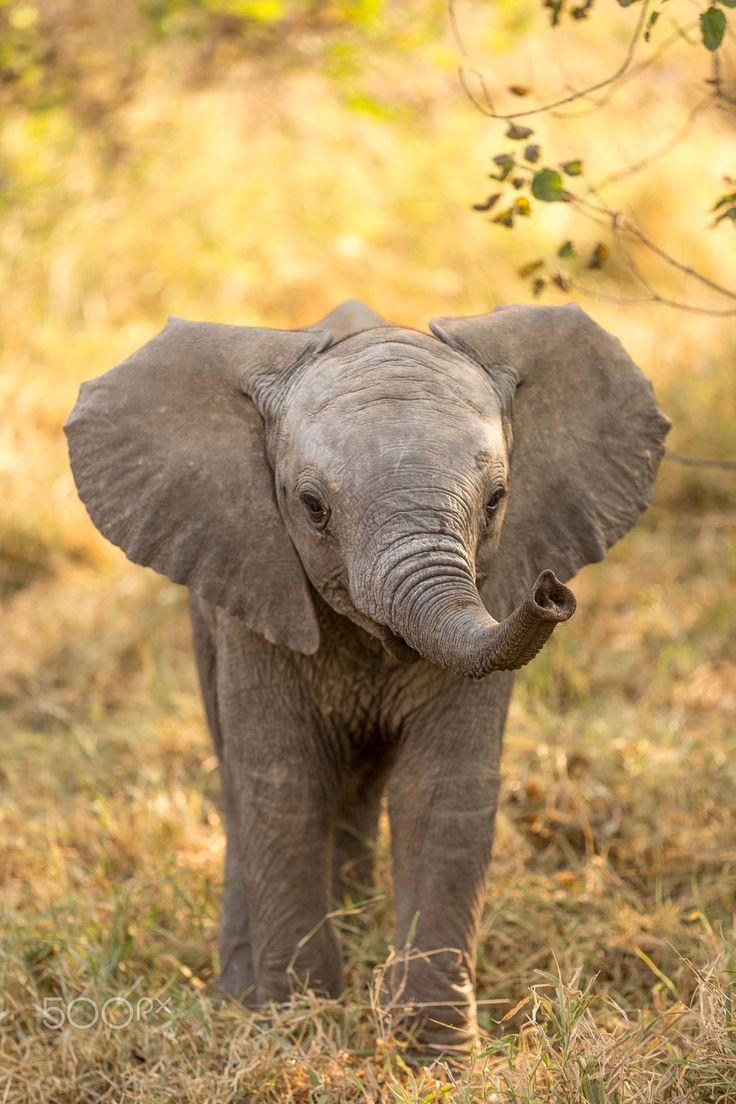 An Elephant Calf: Not Only Approachable, But Also SO Cute! (Photo Taken at Mashatu, Botswana. By: Jaco Marx.)  http://what-do-animals-eat.com/elephants/  #elephants