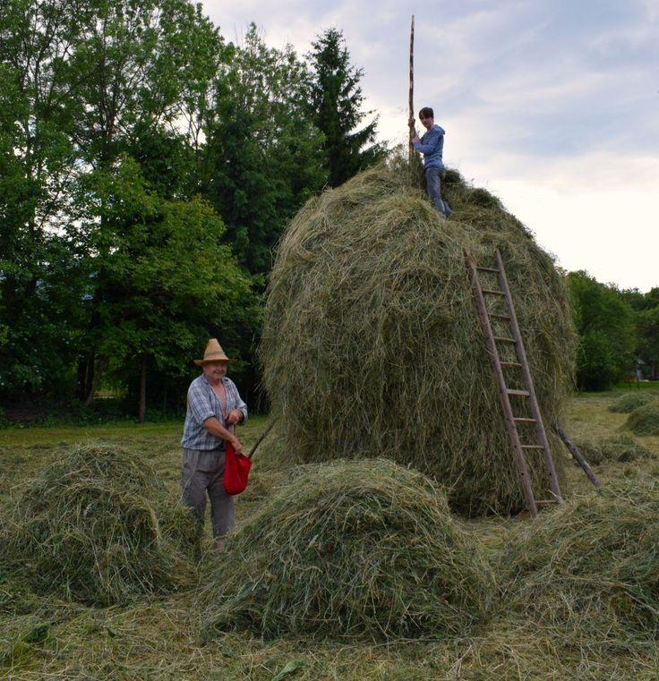 Salting a haystack in Breb Maramures Romania