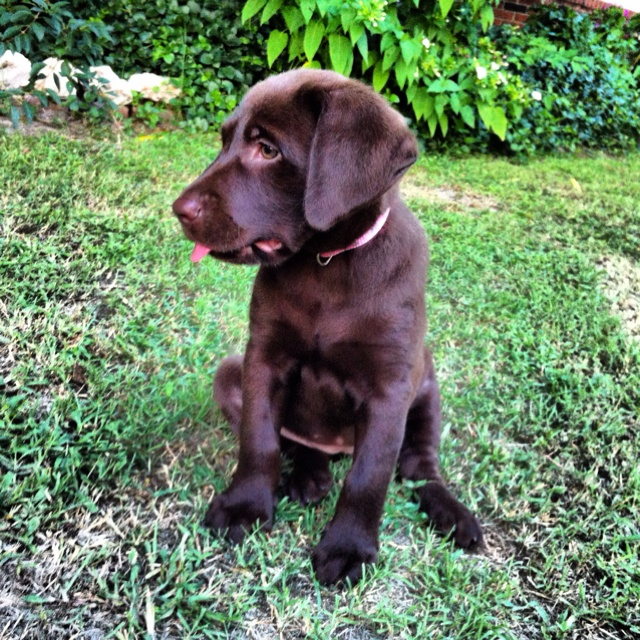 My baby girl. Dogs and puppies, Labrador retriever