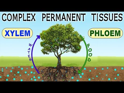 Video is a bit long, but has some great images we could reproduce for Plant Cell Tissues Lesson 3  Complex Permanent Tissues | Xylem & Phloem | Plant Tissues | Biology - YouTube