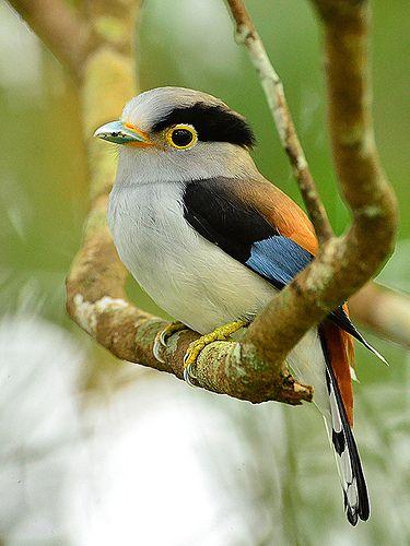 Silver Breasted Broadbill (m) _ Fraser Hill ☺   164   Johnson   Flickr