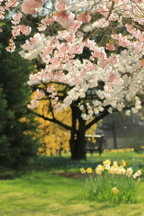 bluepueblo:    Spring Cherry Blossoms, Sakura, Japan  photo via dina