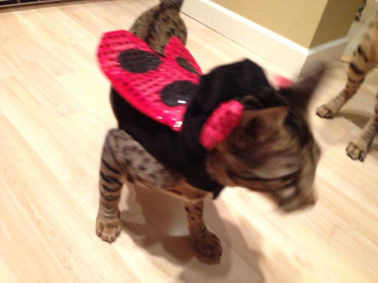 Sweetpea trying on her Halloween costume