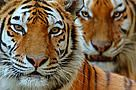 Tigers migrate to China ..... in pieces, make the Chinese prosperous and nothing left in the world moving