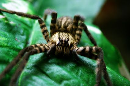 The #Brazilianwanderingspider also known as #armedspiders and #bananaspiders is considered the words #mostvenomous spider by Guinness World Records. These spiders are super aggressive and #deadly #dangerous to humans. The Brazilian wandering spiders can grow up to 6 inches long.  #armadeiras   For more scary #bugs check out http://bedbugbites.xyz/ Bed Bugs - Google+