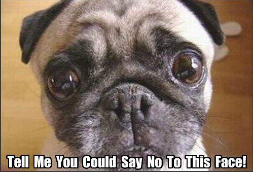 Funny Pug Dog Meme Pun | FUNNY PUG DOG MEMES LOL ...
