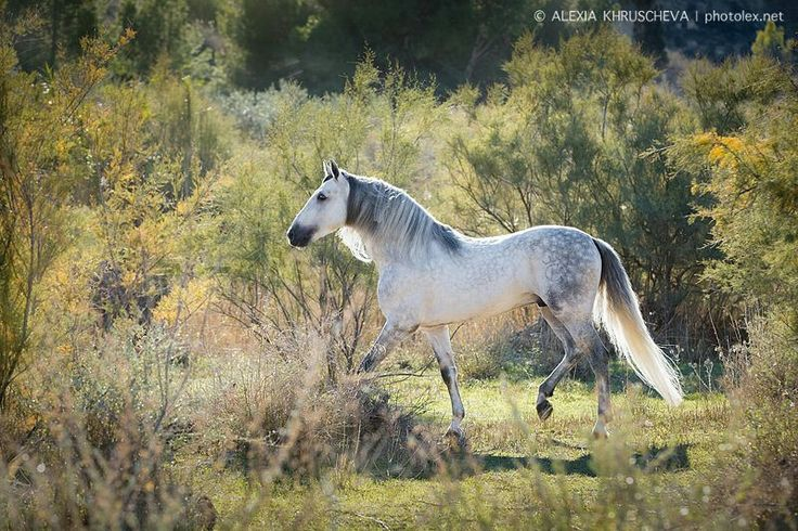 Andalusian horse ride rieder horses