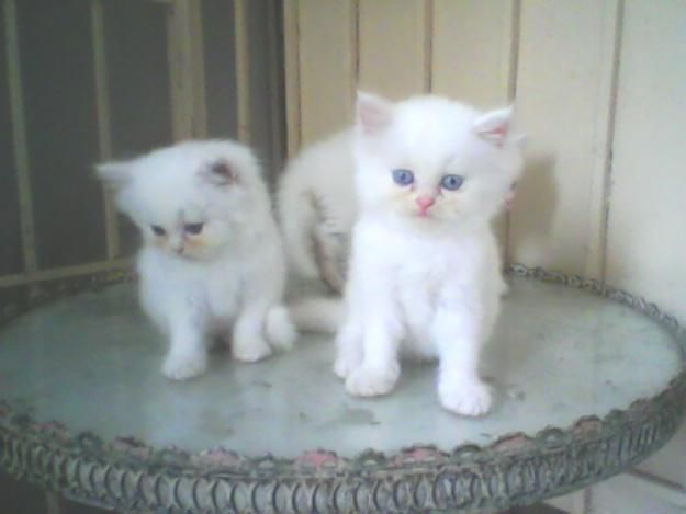 3 Very cute Persian kitten for sale