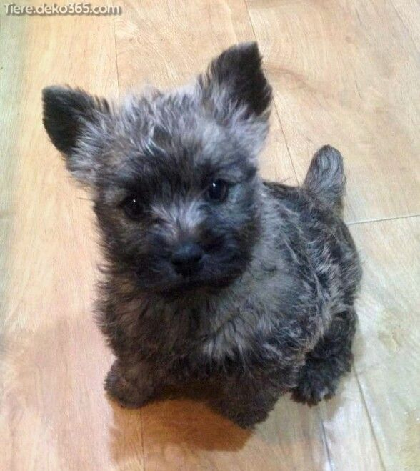 yorkshire terrier mini welpen kaufen