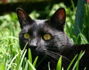 63745-300x236-Black_cat_in_grass.jpg