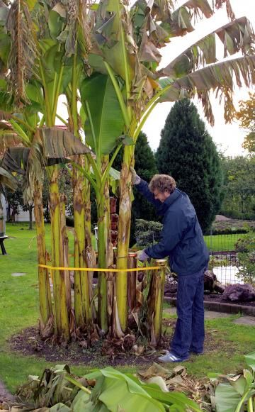 Alle Triebe der Banane sollten bis auf etwa Hüfthöhe zurückgeschnitten werden. Die abgeschnittenen Triebe der Banane lassen sich gut kompostieren.