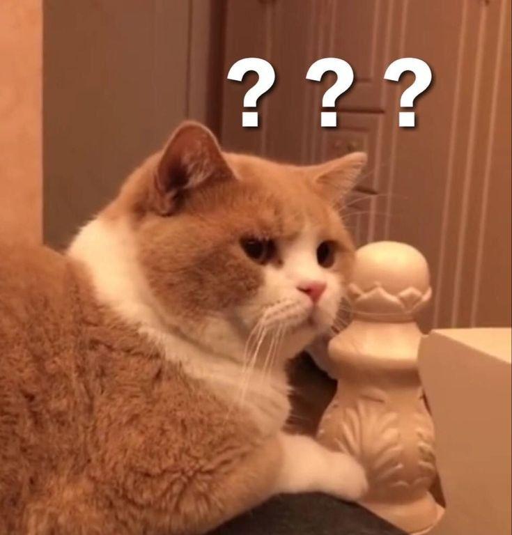 Ghim của Ann Đình trên Meme 2 trong 2020   Ảnh mèo hài hước, Mèo, Meme