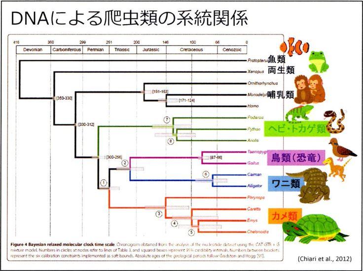 """須田葦也さんのツイート: """"カメは元々絶滅した爬虫類の子孫→一番原始的な爬虫類と考えられてきた   ↓  今、最も進化した爬虫類との考え方も出ている   →人によっては首長竜に近いとも? 遺伝子的には、ヘビ・トカゲのグループよりも、恐竜とワニを合わせたグループに近いと考えられる。(DNA解析による図) https://t.co/60feZg7yxE"""""""