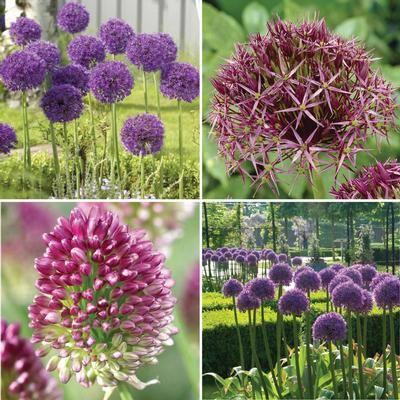 19 best Perfect Flower Combos images on Pinterest Flower beds - allium beetstecker aus metall