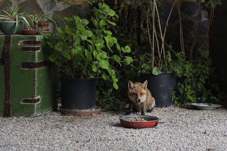 In Cilento le volpi sono tra i migliori amici dell'uomo | © Anna Monaco (@annafdf)