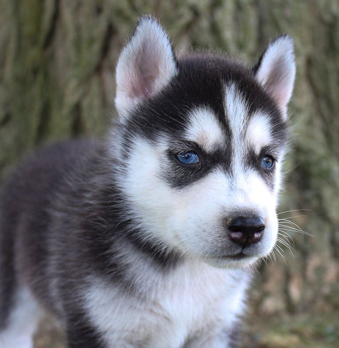 Siberian Husky Pup For Sale In Grabill Indiana Huskypuppy