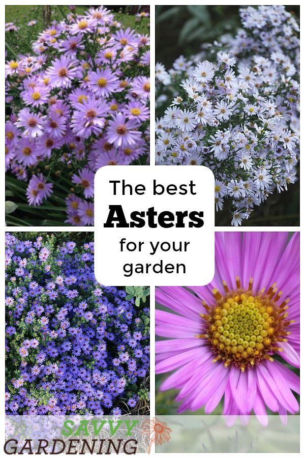 Asters Perennials With A Late Season Punch Flor Aster Especies De Flores E Flores