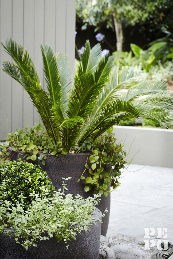 Sculptural foliage featured in a collection of pots at the front door Parsley Bay, Eastern Suburbs By Pepo Botanic Design