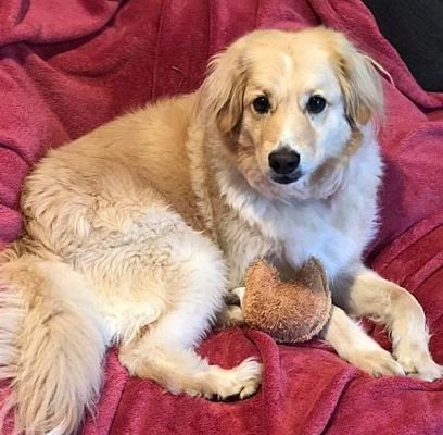 Dallas Tx Golden Retriever Meet Mick A Dog For Adoption