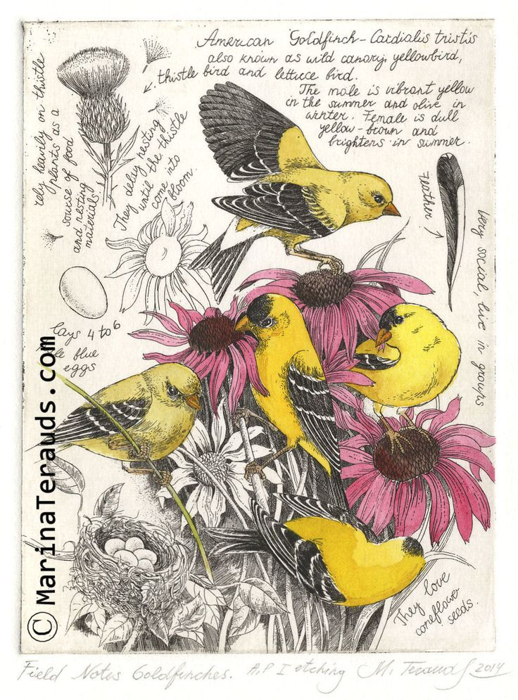 http://www.marinaterauds.com/etchings/fngoldfinches/images/AP01-25392.jpg