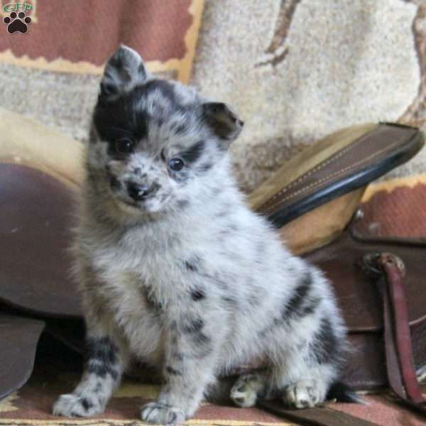 Patches - Pomsky Puppy For Sale in Pennsylvania