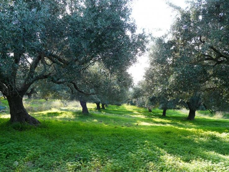 Olive Groves, Crete, Greece