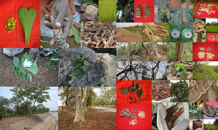 Medicinal Rice based Tribal Medicines for Diabetes Complications and Metabolic Disorders (TH Group-682) from Pankaj Oudhia's Medicinal Plant Database