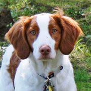 Mowgli - : American Brittany Rescue