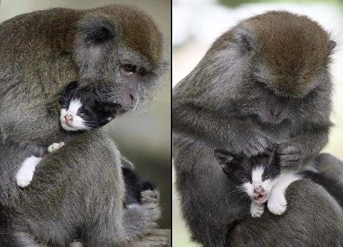 Kimon, una hembra mono de ocho años, acicala un gatito en la isla de Bintan, Indonesia. Kimon tiene al parecer un fuerte instinto materno ya que trata al gato como uno de sus propios hijos.
