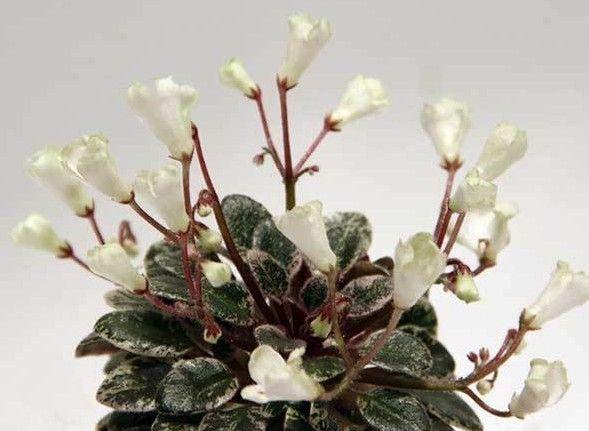 Coral Spider 2 Blätter// 2 leaves African Violet Usambaraveilchen