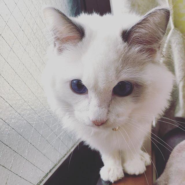 イヴもノアもお風呂に🛀 . 乾かし疲れたから あとはよろしく🙄笑 . #ねこ #子猫 #生後9ヶ月 #生後6ヶ月 #愛猫 #ノルウェージャンフォレストキャット #ラグドール  #多頭飼い #お風呂 #疲れた #大変 #びっちょびちょ #ねこすたぐらむ #ねこのいる生活 #ソックスねこ  #cat #kitten #9month #6month #cute  #love #norwegianforestcat #ragdoll #bath #catstagram #sockscat
