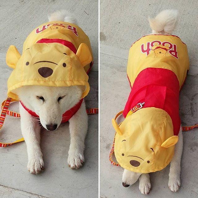 チロ 6ヶ月ごろ。 チロが プーさんカッパを 着ている 写真がでてきました😲 このあとぐらいから カッパや、服を 着るのが 嫌になり もう 着てくれません。 チロには ビバ カッパ が あるからね。 #shiroshiba#shibainu#dog#mameshiba#シバ#シバイヌ#シバケン##シロシバ#マメシバ#ワンコ#チロ#しろしば#しばいぬ#しばけん#しばわんこ#まめしば#しばいぬだいすき#わんちゃん🐶#ちろ#カッパ#柴犬#白柴犬#日本犬#豆柴#多頭飼い#多頭#柴犬だいすき#柴犬マニア#柴犬大好き#雨 by chiro_and_choco