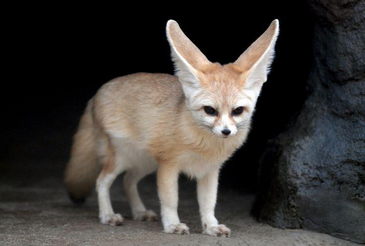 Fennec fox- found in t...