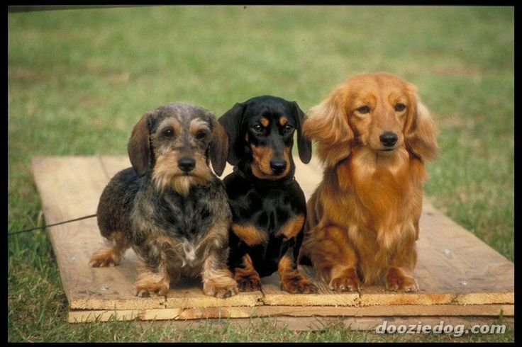 L-R: Wire-haired dachshund, Short-haired dachshund and Long-haired dachshund.