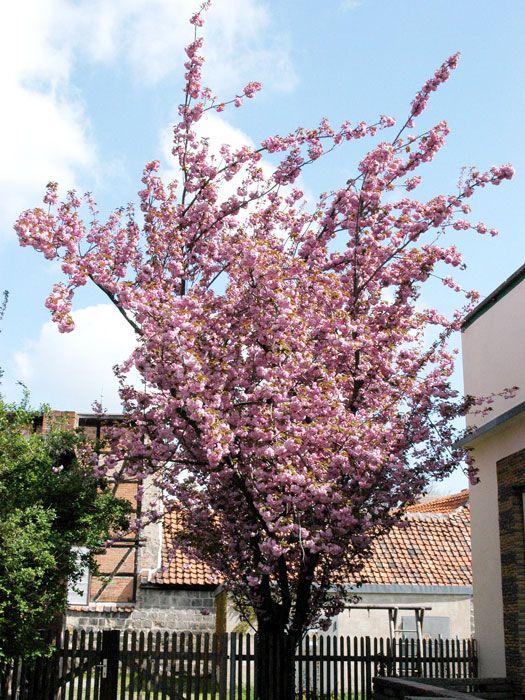 Prunus serrulata 'Kanzan' - Nelkenkirsche, japanische Zierkirsche  Die japanische Zierkirschen-Sorte 'Kanzan' ist eine wegen ihrer prallen Blütenpracht weit verbreitete Zierkirschenart in unseren Gärten. Sie wächst entweder als großer...