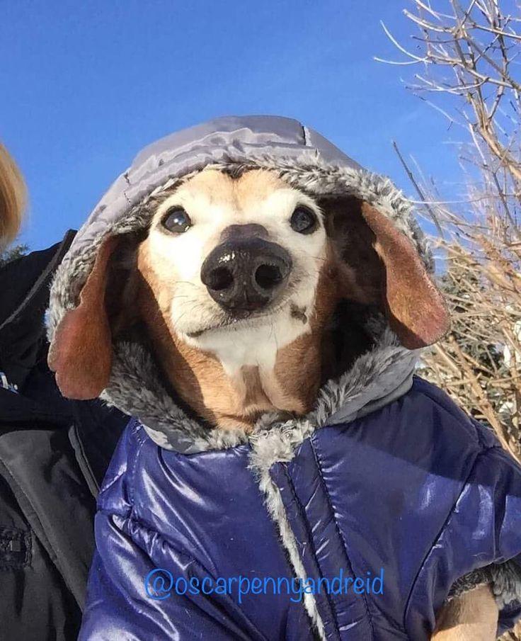 "642 Likes, 44 Comments - Oscar And Friends (@oscarpennyandreid) on Instagram: ""All bundled up for a walk! (Well, carry 🙄) . . . . #dachshundsofinstagram #rescuedogsofinstagram…"""