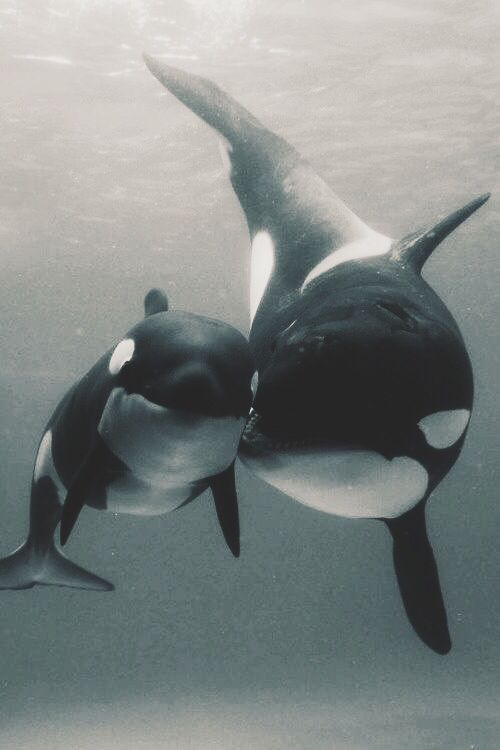 Orca Mom with calf....they touch one another often to express comfort and love. This continues for two years