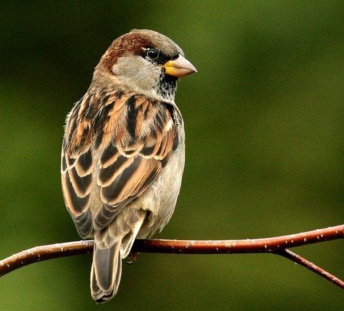 Legend of sparrows say they carry the souls of the dead; it's unlucky to kill one.