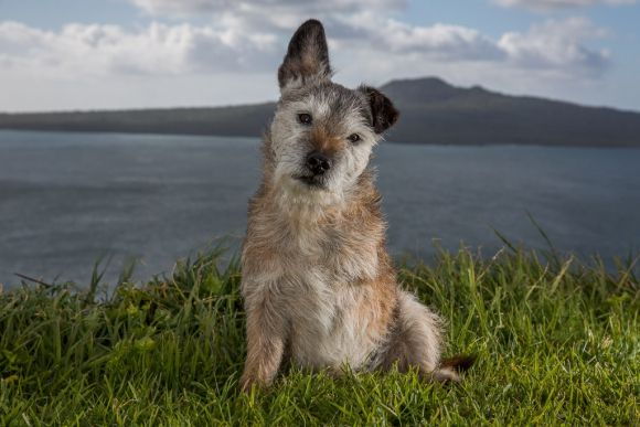 Jak the conservation dog is retiring after 84 dog years of active service. Photo: Andrew Fladeboe