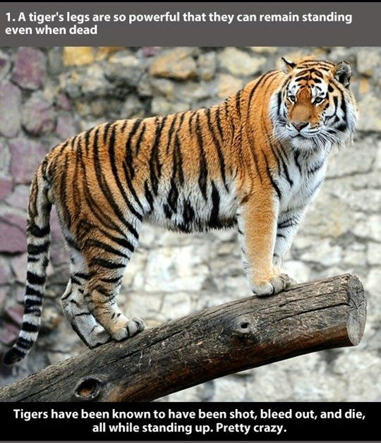22 Unusual Facts About Tigers to Amaze You | http://blog.piktureplanet.com/unusual-facts-about-tigers-to-amaze-you/